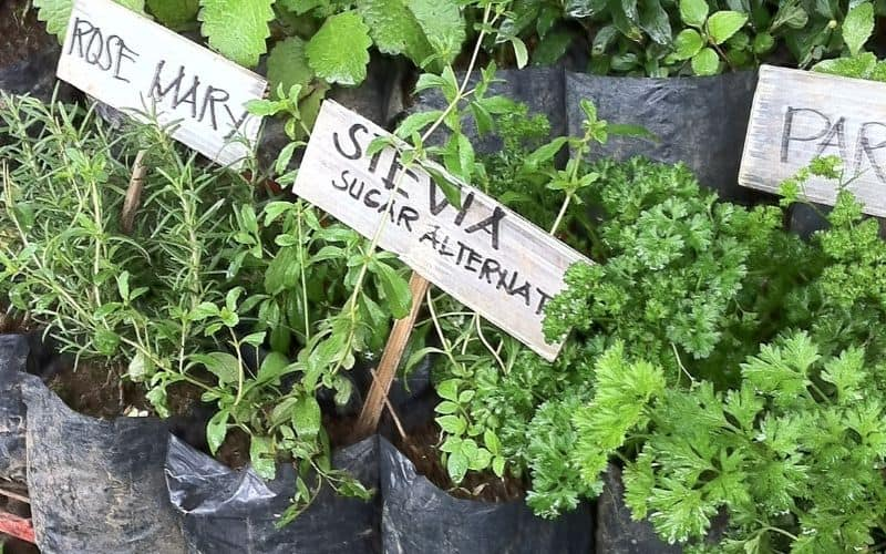 uses for stevia plant